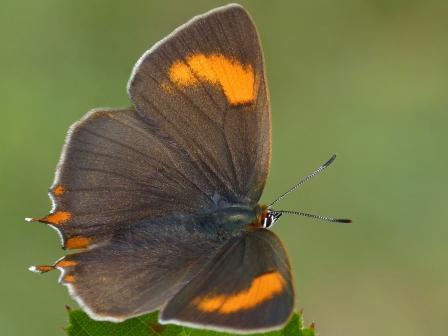 BrownHairstreak butterfly