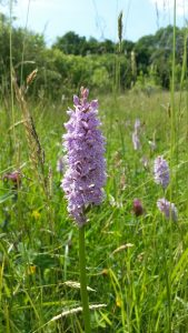 Common Wild Orchid @ Southwater Country Park